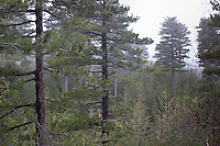 Schwarz-Kiefer, Schwarzkiefer, Kiefer, Pinus nigra, Pinus austriaca, Pinus nigra ssp. calabrica, Pinus nigra ssp. laricio, Black Pine, Italien, Sizilien, Ätna, Mount Etna
