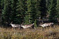 Woodland Caribou or forest-dwelling caribou (Rangifer tarandus caribou)--bull herding two cows.  British Columbia.  Fall.