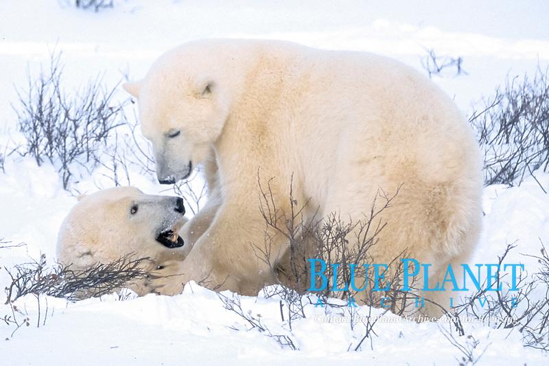 male polar bears fighting Ursus maritimus Churchill, Manitoba, Canada, Arctic, polar bear, Ursus maritimus