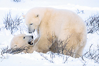 male polar bears fighting Ursus maritimus Churchill, Manitoba, Canada, Arctic, polar bear, Ursus maritimus