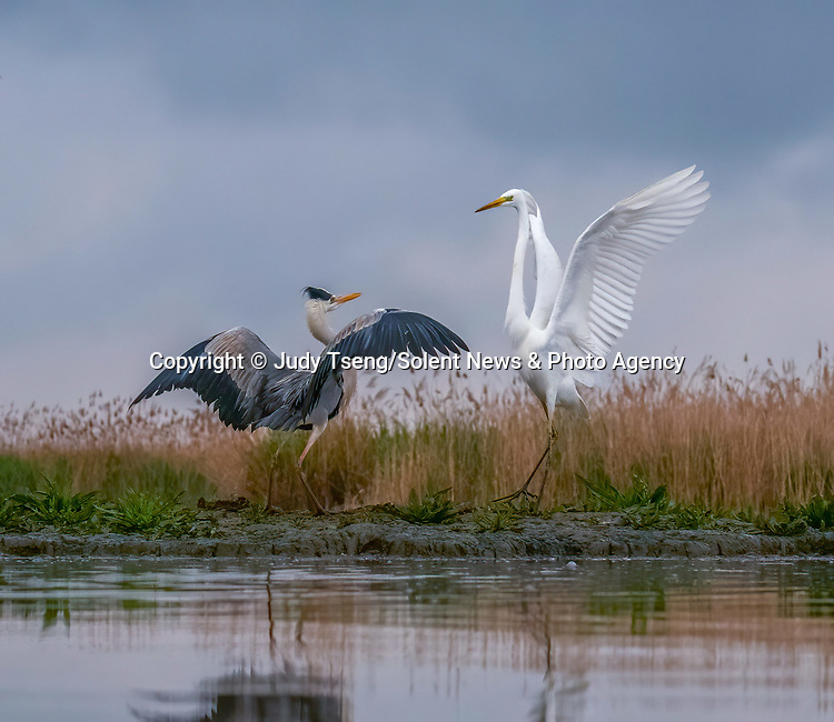 """A heron and egret put on a mid-air dance display as they come to blows whilst hunting for fish.<br /> <br /> The squabbling birds were captured on camera by Judy Tseng from San Fransisco who was visiting the ...........................<br /> <br /> Judy said, """"This is a great egret and and a great blue heron.  These birds can become very territorial over their particular feeding area.  In the end, the great egret failed to nab the blue heron's spot and he flew away.""""<br /> <br /> Please byline: Judy Tseng/Solent News<br /> <br /> © Judy Tseng/Solent News & Photo Agency<br /> UK +44 (0) 2380 458800"""