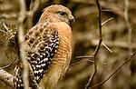 """""""Red-shouldered Hawk"""", Florida"""
