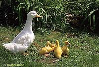 DG20-051z  Pekin Duck - ducklings with mother