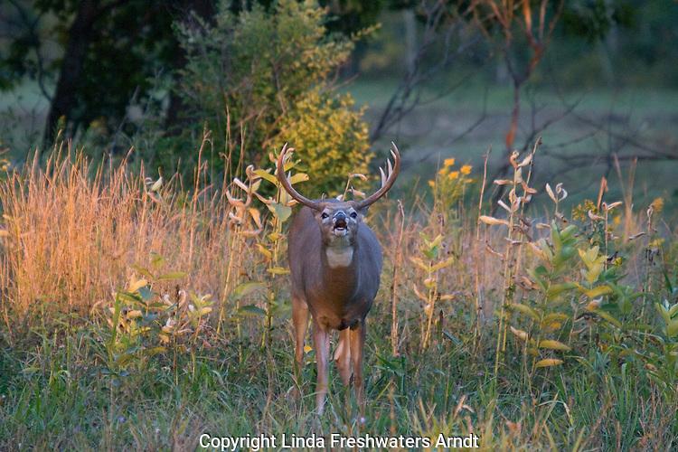 White-tailed buck