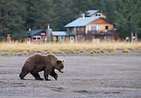 A brown bear walks in front of the Silver Salmon Lodge, my home base during this trip.