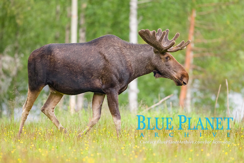 Eurasian Elk (Alces alces), Sweden, Europe