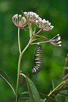 Monarch (Danaus plexippus), caterpillar pupating on Aquatic Milkweed (Asclepias perennis), series, Hill Country, Central Texas, USA