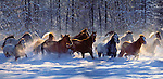 Horses of Washington's Methow Valley run with unbridled abandon- their powerful strides spinning new fallen snow into powdery mists.