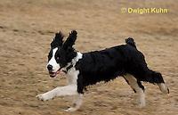 SH25-783z English Springer Spaniel Dog running