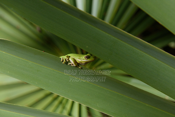 Green Treefrog (Hyla cinerea), aduly on palm frond, Palmetto State Park, Texas, USA