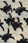 Green Sea Turtle hatchlings move towards the ocean in the Galapagos Islands, Ecuador (composite)