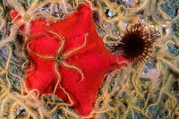 brittle star, Ophiothrix spiculata, bat sea star, Patiria miniata, red sea urchin, Strongylocentrotus franciscanus, Channel Island National Marine preserve, California, USA, Pacific Ocean