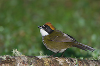 Chestnut-capped Brush-Finch, Buarremon brunneinucha, adult, Bosque de Paz, Central Valley, Costa Rica, Central America