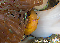 0320-1120  Clark's anemonefish (Yellowtail clownfish), Amphiprion clarkii, with Bulb-tipped Anemone, Entacmaea quadricolor  © David Kuhn/Dwight Kuhn Photography.