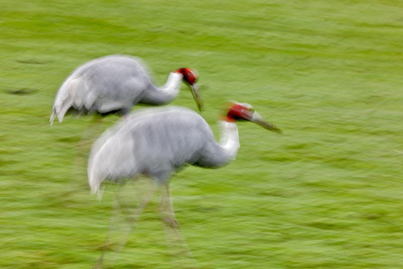 Sarus Crane on the run. Wildlife Safari. Winston, Oregon