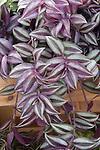 Wandering Jew, Tradescantia 'Purple'