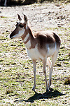 pronghorn full body view, vertcial