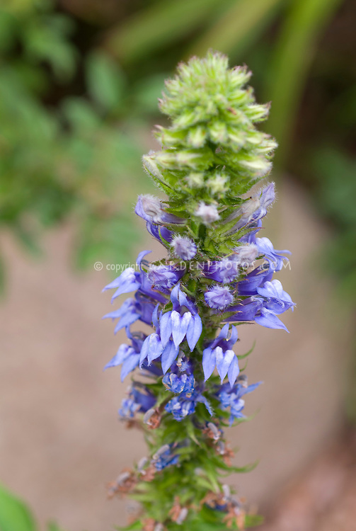 Lobelia siphilitica, Great Blue Lobelia, blue flowered