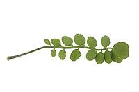 Wiesen-Schaumkraut, Wiesenschaumkraut, Schaumkraut, Cardamine pratensis, Cuckoo Flower, Lady´s Smock, Cardamine des prés. Blatt, Blätter, leaf, leaves