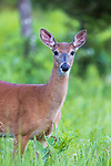 White-tailed doe in northern Wisconsin.