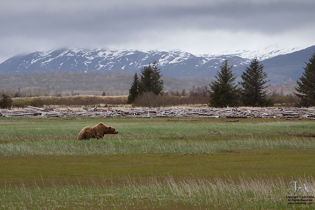 Adult Grizzly bear sniffing the air in Katmai National Park, Alaska
