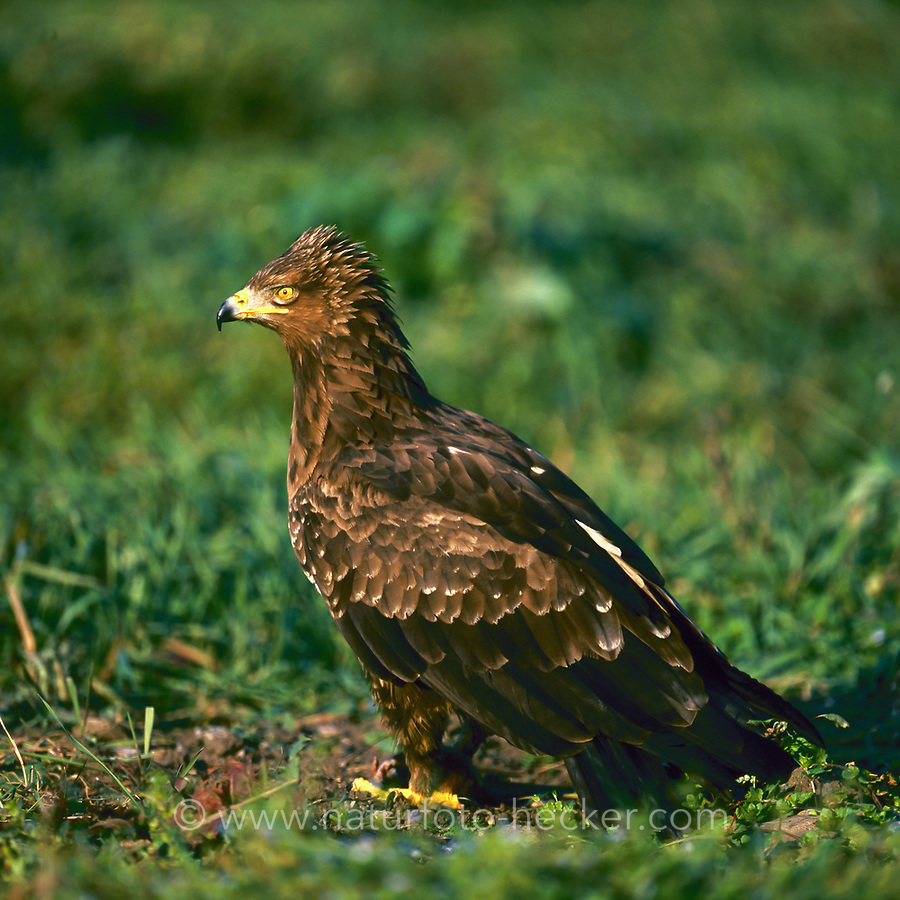 Schreiadler, Schrei-Adler, Adler, Clanga pomarina, Aquila pomarina, lesser spotted eagle, L'Aigle pomarin