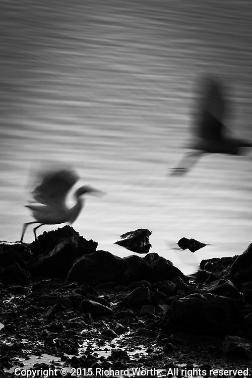 A black-and-white capture of an egret encounter.  Egrets, for all their delicate good looks,  are aggressively territorial.  It is common to see one fly toward another that is passively feeding and force it away with a display of wild wings, lunging bill and other behavior.