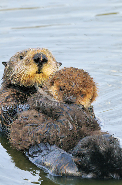 """Sea Otter (Enhydra lutris) mother with pup.  Young pups have light brown or yellowish fur called the """"natal pelage.""""  This fluffy fur helps the pup stay afloat before it learns the intricacies of swimming, and it will be completely replaced with dark brown adult fur by the time the pup is about three months old."""