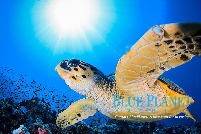 hawksbill sea turtle, Eretmochelys imbricata, Red Sea, Egypt