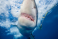 great white shark, Carcharodon carcharias, charging on the shark cage, Guadalupe Island, Mexico, Pacific Ocean
