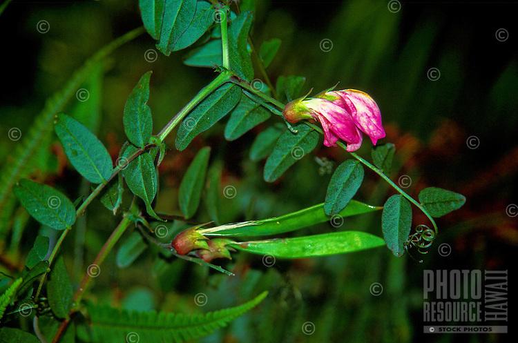 Endangered hawaiian vetch or hawaiian wild broadbean, (vicia menziesii). It is a perennial vine that climbs over low vegetation.