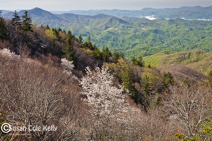Serviceberry/Shad (Amelanchier arborea) in bloom at Yellow Face, Blue Ridge Parkway, NC, USA