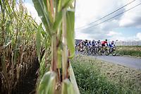 Peloton riding along the corn fields.<br /> <br /> 102nd Kampioenschap van Vlaanderen 2017 (UCI 1.1)<br /> Koolskamp - Koolskamp (192km)
