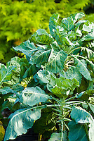 Collard greens in an organic garden
