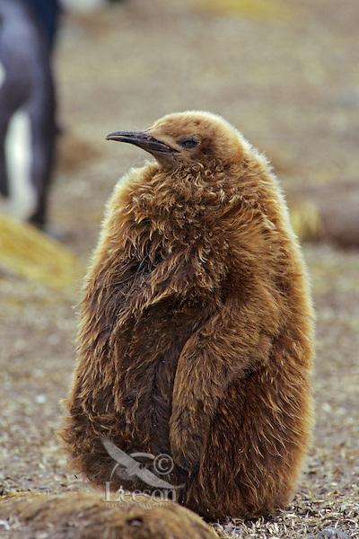 Young (half grown) King penguin (Aptenodytes patagonicus), South Georgia Island