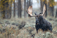 The Grand Tetons are a great place to see moose in autumn.
