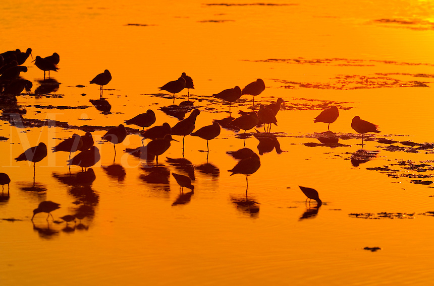 Flock of birds gather in shallows of pool at sunset