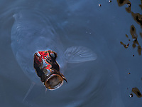 A Japanese carp is hopeful for more bread crumbs.  The red reflection is from a nearby red bridge.