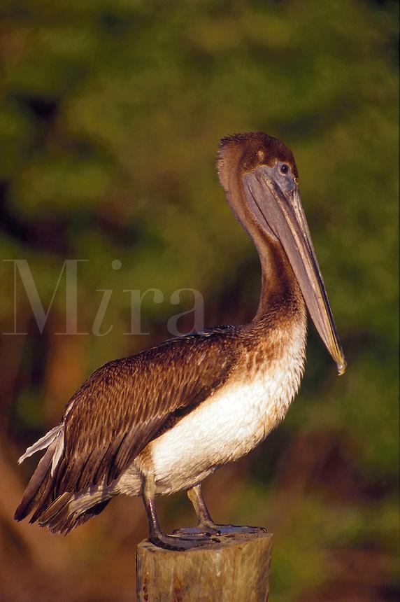 Brown Pelican, Marco Island, Florida