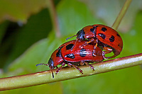 Blattkäfer, Gonioctena decemnotata, Phytodecta rufipes, Paarung, Kopulation, Kopula,