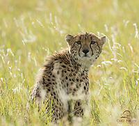 Female Cheetah in Evening Light, Lewa