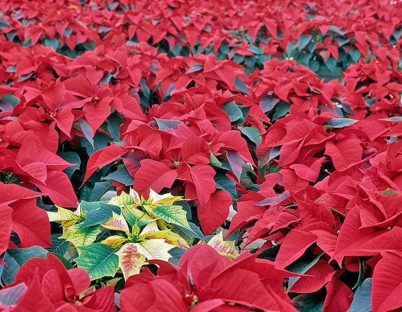 Rows of red and one white pointsettia. Oregon Coast Greenhouses. Near Waldport, Oregon