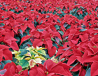 Rows of red and one white pointsettia. Oregon Coast Greenhouses. Near Waldport, Oregon