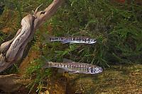 Elritze, Pfrille, Phoxinus phoxinus, minnow