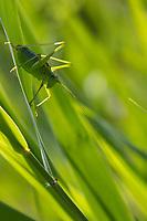 Laubholz-Säbelschrecke, Laubholzsäbelschrecke, Säbelschrecke, Männchen, Barbitistes serricauda, sawtailed bushcricket, male, le barbitiste des bois, Tettigoniidae
