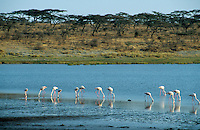 "Afrika Ostafrika Tansania Nationalpark Serengeti , Flamingo. -  Wildlife Natur xagndaz | .East africa Tanzania Nationalpark Serengeti , Flamingo.  -  nature wildlife .| [ copyright (c) Joerg Boethling / agenda , Veroeffentlichung nur gegen Honorar und Belegexemplar an / publication only with royalties and copy to:  agenda PG   Rothestr. 66   Germany D-22765 Hamburg   ph. ++49 40 391 907 14   e-mail: boethling@agenda-fototext.de   www.agenda-fototext.de   Bank: Hamburger Sparkasse  BLZ 200 505 50  Kto. 1281 120 178   IBAN: DE96 2005 0550 1281 1201 78   BIC: ""HASPDEHH"" ,  WEITERE MOTIVE ZU DIESEM THEMA SIND VORHANDEN!! MORE PICTURES ON THIS SUBJECT AVAILABLE!! ] [#0,26,121#]"