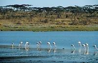 "Afrika Ostafrika Tansania Nationalpark Serengeti , Flamingo. -  Wildlife Natur xagndaz | .East africa Tanzania Nationalpark Serengeti , Flamingo.  -  nature wildlife .| [ copyright (c) Joerg Boethling / agenda , Veroeffentlichung nur gegen Honorar und Belegexemplar an / publication only with royalties and copy to:  agenda PG   Rothestr. 66   Germany D-22765 Hamburg   ph. ++49 40 391 907 14   e-mail: boethling@agenda-fototext.de   www.agenda-fototext.de   Bank: Hamburger Sparkasse  BLZ 200 505 50  Kto. 1281 120 178   IBAN: DE96 2005 0550 1281 1201 78   BIC: ""HASPDEHH"" ,  WEITERE MOTIVE ZU DIESEM THEMA SIND VORHANDEN!! MORE PICTURES ON THIS SUBJECT AVAILABLE!! ] [#0,26,121#]"