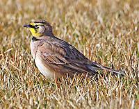 Adult horned lark