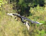 Yala National Park Sri Lanka<br /> Malabar Pied Hornbill