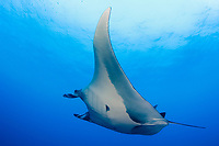 giant oceanic manta ray, Mobula birostris, formerly Manta birostris, with remoras, Roca Partida Island, Socorro Island, Baja California, Mexico, Pacific Ocean